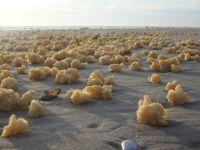 これはいったい?フランスの海岸を埋め尽くした謎のスポンジ状の物体