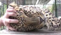 やっぱりネコ科はモフが好き。モフられた時のヒョウのグルグル音があまりにも巨大だった。