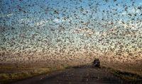 竜巻のように道路を埋め尽くす、ロシアのバッタ大量発生
