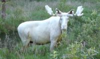 真っ白のヘラジカがあらわれた!見たら幸せになれそうな白変種のレアキャラ登場(スウェーデン)