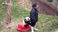 子パンダころりんすっとんとん。モフモフ可愛い子パンダのコロコロ映像総集編