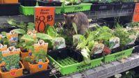 オンリーオーストラリアって言うしかないだろ!ホームセンターの苗木売り場でフクロギツネが無銭飲食三昧っていう。