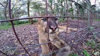 クーガーだって猫だもの。一番大きな猫クーガーの鳴き声をお聞きください