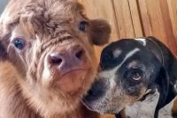 牛の犬化。育児放棄された群れにも見放された子牛を犬と一緒に育てたところ結構な犬っぷり(アメリカ)