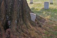 墓石を次々と飲み込んでいく。墓を食べる木(アメリカ)