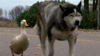 親友を失い失意の犬の元にやってきたのは1羽のアヒルだった。種族を超えた新たな友情に町中ほっこり(アメリカ)