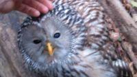 スロベニアの森で出会ったモフられ好きなフクロウ、人間の助けを得て再び飛ぶ