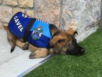 人なつっこすぎて警察犬失格。だけど彼には天職があった。総督犬となったガベルの場合(オーストラリア)