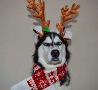 もっとかわいくだと?これが地顔じゃい!クリスマス仕様となったハスキー犬のアヌコ氏。相変わらず悪い顔してた。