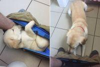 だってパンツが好きなんやもん~!トイレ中飼い主のパンツに潜り込むのが好きな犬の成長記録