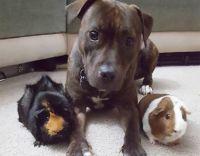 モルモット姉妹の末妹になったのは保護犬のピットブル。仲良く3匹でお昼寝するよ(アメリカ)