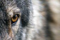 より強い人間になるためにオオカミから学べる12の特性