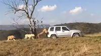 「押しまっせ、果てしなく」ライオンが車を押してくれるサファリパークがあるらしい。護衛付きで。