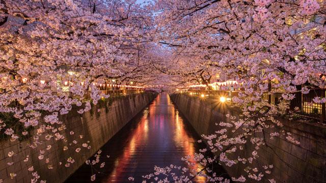 部門別【お花見・東京】ライトアップから穴場まで5年通った桜 ...