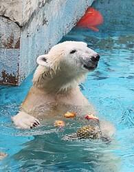 <ホッキョクグマ>果物入った氷柱プレゼント 大阪の動物園