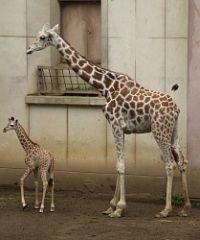 <盛岡市動物公園>キリン脚に傷、市民から心配の声