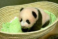 <上野動物園>あんよしっかり3、4歩 パンダ生後100日
