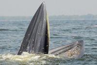<カツオクジラ>ぱっくり口開け、立ち泳ぎでじっと餌を待つ