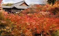 <京都・東福寺>「まるで紅葉の雲海」2000本が見ごろ