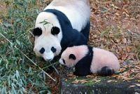母親の「シンシン」と過ごすジャイアントパンダの子ども「シャンシャン」=東京都台東区の上野動物園で2017年12月9日午後0時40分、東京動物園協会提供
