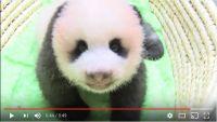 上野動物園の赤ちゃんパンダの「身体検査動画」がめちゃんこかわええええ! 触診されてる時の笑顔ひとつで世界が平和になる予感