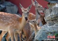 北京の故宮博物院に9頭のニホンシカ出現!―中国