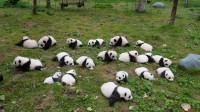 もふもふかわいすぎ!今年生まれた赤ちゃんパンダ大集合―中国