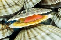 遼寧省でホタテ貝が大減産、「日本人の陰謀で北海道に戻って行った」説が広まり混乱―中国