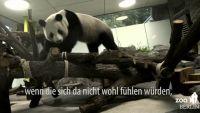 ベルリンの動物園、中国から到着したパンダの映像公開