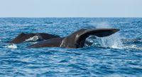 クジラの脳の大きさと社会構造の複雑さに相関関係=研究