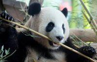 後ろ向きに歩くベルリン動物園のパンダ、悪癖直す特効薬は恋愛か