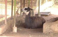 食料不足のベネズエラ、動物園で動物盗難が多発 麻薬組織説も
