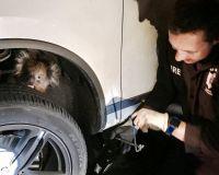 豪南部で車輪のすき間にはまったコアラ、16キロ走行後に救出