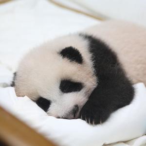 赤ちゃんの名前募集に2週間で32万件! 日本人は本当にパンダを愛している!=中国メディア