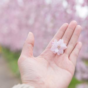 たった数日しか咲かない桜、なぜ日本人をこれほどまでに魅了するのか=中国