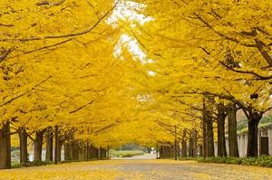 日本には恐れ入る・・・中国原産のイチョウの美しさを引き出したのは日本だった=中国