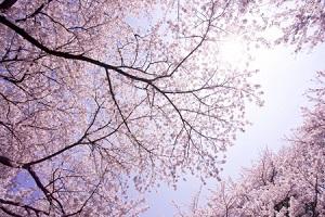 どうりで今の時期、中国人観光客が日本に大挙するわけだ・・・だって本当に桜が美しいから!=中国メディア