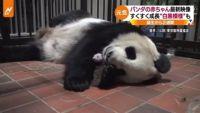 """パンダの赤ちゃん最新映像、すくすく成長""""白黒模様""""も"""