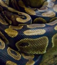 巨大ニシキヘビがバスルームに。女性を排水溝に引きずり込もうとする。(タイ)
