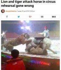 サーカスのリハーサル中に動物たちが大乱闘(画像は『Metro 2018年1月16日付「Lion and tiger attack horse in circus rehearsal gone wrong」(Picture: Asia Wire)』のスクリーンショット)
