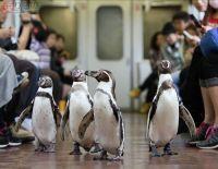 ペンギンを列車内で見られるツアー開催 「ガメラの赤ちゃん」と記念撮影も 近鉄