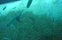 「お盆後の海はクラゲが出る」は本当か