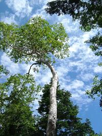 木の寿命ってどれくらい?