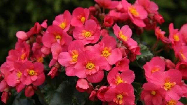 花 言葉 ベゴニア