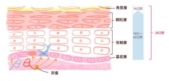 図1 部位よって変わりますが28日〜56日で変わっていく表皮の構造