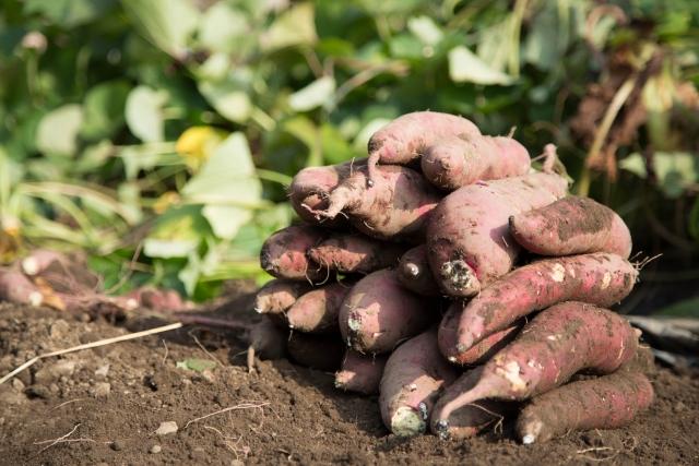 時期 サツマイモ 収穫 サツマイモの収穫時期と収穫後の保存方法を知ろう!