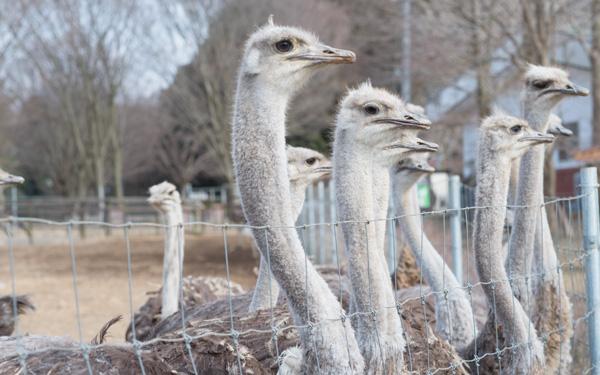 最新ニュース、芸能、ネットの話題をまとめ読み動物園では味わえない「ダチョウ牧場」にハマる人続出! カピバラ、アルパカにも会える