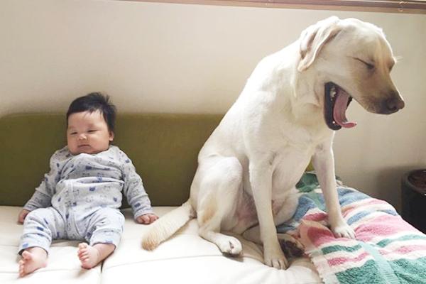 【いぬねこ うちのこ。】一葉くん(1歳)とラブラドールのバウ/りーこさんち