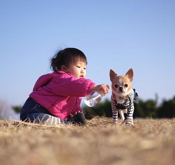 【いぬねこ うちのこ。】こなつちゃん(2歳)と3匹のチワワたち /maikaさん