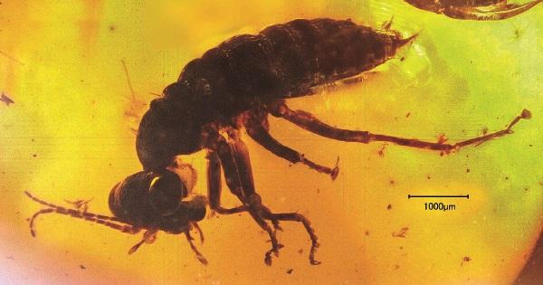 日本初公開の 琥珀に閉じ込められた 「絶滅目の昆虫」